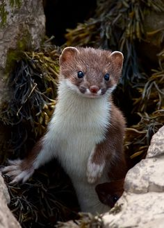 Stoats, Wales by black fox wildlife photography. ~ One of my favourite animals! ~