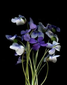 ♥violetas as tiny as it is ... it have a distinctive smell ... is individual ... no other flower claims to be a violeta ... even if they try ... they'll fail ...♡♥you are Spy ... me am I♡♥
