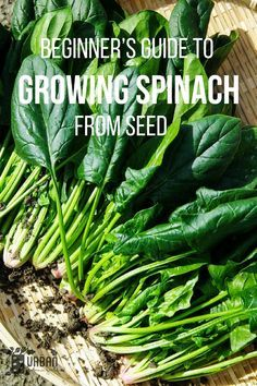 A lot of new gardeners are curious about how to take the dive into Growing Spinach, Here is the ultimate Beginner's Guide about Planting, Growing And Harvesting Spinach Successfully. Planting Spinach, Growing Spinach, Seeds, Take That, Plants, Plant, Planets