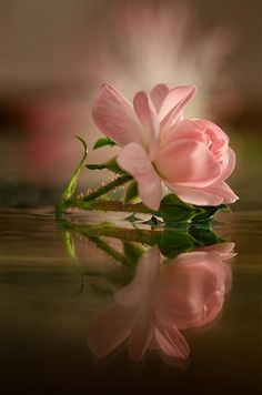 A pink rose reflection on water- absolutely beautiful. Love Rose, My Flower, Pretty Flowers, Pretty In Pink, Pink Flowers, Have A Beautiful Day, Beautiful Roses, Simply Beautiful, Absolutely Stunning