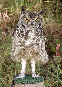 African or Spotted Eagle Owl (Bubo africanus) - Picture 2 in Bubo: africanus - Location: bird rehabilitation centre near Cathedral Peak, Kwa...