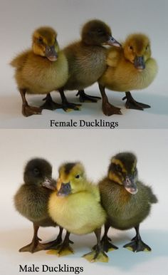 The breed was developed to produce the most duck eggs per dollar. The originator of this breed wanted a duck with better temperament, that laid more eggs. Ducklings For Sale, Duck And Ducklings, Geese Breeds, Duck Breeds, Pet Ducks, Baby Ducks, Backyard Ducks, Chickens Backyard, Rouen Duck