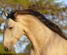 The Lusitano head. Lusitano stallion Xazan  Interagro. Lusitanos and PRE's are essentially the same horse. But for years, the trend has been Spanish breeders selecting for beauty and height, while most Portuguese breeders select for working skills, staying closer to original type. photo: Julia Wentscher.