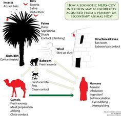 How the MERS virus infected humans.