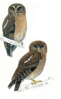 Two new owl species discovered in Philippines | @GrrlScientist | Science | theguardian.com