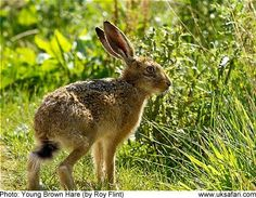 Young Brown Hare by Roy Flint