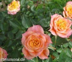 Rosen ohne Blattläuse