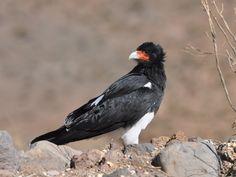 Mountain Caracara Phalcoboenus megalopterus - Google zoeken