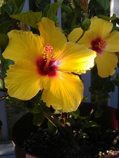 Hibiscus bloom from my little tree. Annual Flowers, Hibiscus, Bloom, Natural Beauty, Plants, Year Round Flowers, Plant, Raw Beauty, Planets