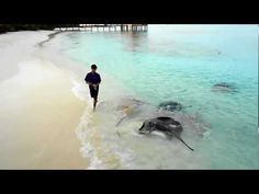 Feeding of Stingrays at Reethi Beach on the Maldives. Video. www.victortravelblog.com/2012/11/19/vilamendhoo-island-resort-and-reethi-beach-resort/