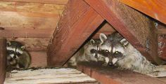 These raccoons are keeping warm in somebody's attic!