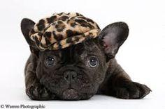 Bien frances, French Bulldog Puppy