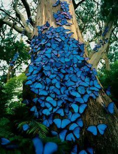 Blue butterflies in the Amazon rainforest of Brazil