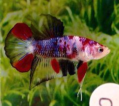 P29-Thai-Import-Fancy-Koi-Marble-HMPK-Halfmoon-Plakat-Male-Betta-Live-Fish