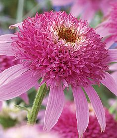 "Echinacea, Pink Double Delight  Double the flower power in half the height.   Fancy flowers in hot pink bloom for 2-3 months. These gorgeous coneflowers are well branched with sturdy flower stems. Compact at only 24-28"" tall. Perfect for cutting. Thrives even in intense heat and humidity!  Product Details  lifecycle: Perennial  Zone: 5-9  Sun: Full Sun  Height: 24-28  inchesSpread: 18-24  inchesUses: Beds, Borders, Cut Flowers  Bloom Season: Fall, Summer  Resistant To: Deer"