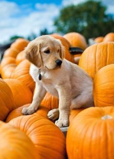 "Puppy sitting on a pile of pumpkins Hope you're doing well.From your friends at phoenix dog in home dog training""k9katelynn"" see more about Scottsdale dog training at http://k9katelynn.com! Pinterest with over 20,600 followers! Google plus with over 170,000 views! You tube with over 500 videos and 60,000 views!! LinkedIn over 9,300 associates! Proudly Serving the valley for 11 plus years"
