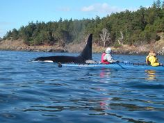 It's not too early to plan a San Juan Islands sea kayaking trip this summer. https://www.youtube.com/watch?v=fAm01BzC_SM&feature=youtu.be