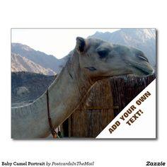 Baby Camel Portrait Postcard