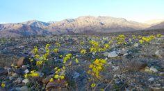Death Valley SuperBloom Underway [41602340][OC] #reddit