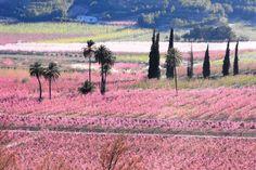 Imagen: conradocieza.blogspot.com Cieza, Murcia ¡A todo color! Así es la Floración de Cieza. Un buen clima y la mano del hombre del campo se unen para convertir a estas huertas en una especie de arco iris terrestre.