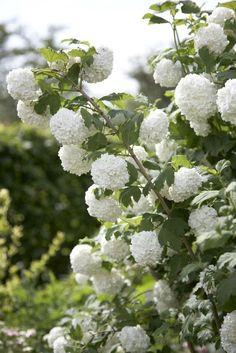 Snöbollsbuske, Viburnum opulus 'Roseum'