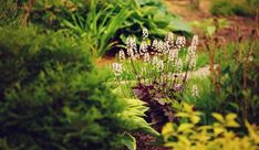 dlužicha Chocolate Ruffles Plants, Flowers, Outdoor