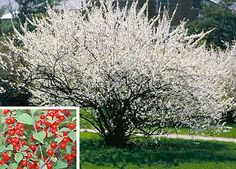 Prunus tomentosa: Nanking Cherry. Blossoms attract bees while the fruit attracts birds. The fruit is very tasty and can be used in baking.