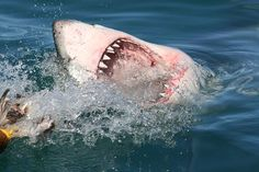 Witnessing great white sharks breach fully out of the water, attempting to snatch a meal in mid-air, is one of the world's most extraordinary wildlife spectacles. Shark Diving, Sharks, Great White Shark, Lions, Safari, Tourism, Wildlife, African, Ocean