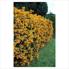 Berbers darwinii is a lovely evergreen shrub with orange flowers in spring. It is fast growing and spikes so a good boundary hedge. Hedging Plants, Privacy Plants, Hedging Ideas, Moon Garden, Dream Garden, Privacy Hedges Fast Growing, Colorful Shrubs, Fast Growing Evergreens, Evergreen Hedge