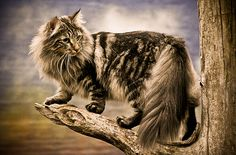Norwegian Forest Cats : Photo