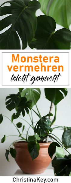Multiply Monstera - Creative Photography Tips and Photo Hacks Monstera Multiply . - Multiply Monstera – Creative Photography Tips and Photo Hacks Monstera Multiply Made Easy! Water Plants, Garden Plants, Indoor Plants, House Plants, Small Garden Design, Plant Design, Tropical Garden, Tropical Plants, Creative Photography