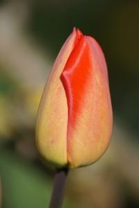 scharfe Tulpe