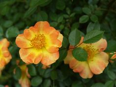 Low care roses – Ramblin' through Dave's Garden Remove Mold From Clothes, Remove Mould From Fabric, Knockout Roses, Rose Varieties, Cut Flowers, Shrubs, Bloom, Plants, Carpets