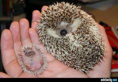 Igel Mutter mit Baby