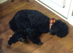 Love the positions that Poodle sleep.