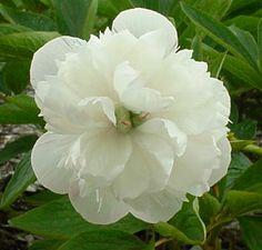 officinalis alba Plena - Herbaceous Peony/ Paeonia