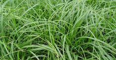 Carex oshimensis 'JS Greenwell'