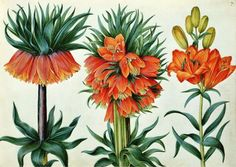 Fritillaria imperialis (Crown Imperial Lily) by Alexander Marshal....Botanical Art Tuition: Billy Showell....