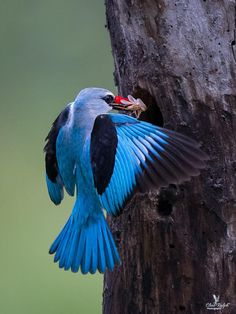 Woodland Kingfisher, Tzaneen, South Africa.