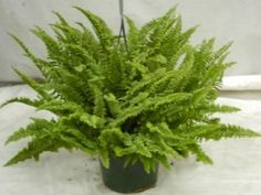 """Nephrolepis exaltata 'Fluffy Ruffles Fern' """"SECRETS OF SUCCESS"""": ___LIGHT - MEDIUM LIGHT INDOORS ___WATER - Keep moist ___FERTILIZER - Feed half strength twice as often ___HUMIDITY - Thrives with misting, pebble tray and/or grouping ___TEMPERATURE - Comfortable cooler indoor temperatures"""