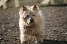 Katlyn is an adoptable Norwich Terrier Dog in Methuen, MA. This little girl Katlyn is 13 years young!! She is a tan Norwich Terrier.  Katlyn is a low activity, very waggy, very sweet girl.  Katlyn wou...