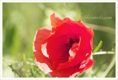 a red poppy...
