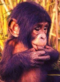 Baby Chimpanzee Cutie Chimp