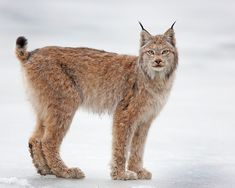 Lynx in the Snow, Photo by Ken Conger  April 01, 2010, Denali National Park, Alaska    Read more: http://www.smithsonianmag.com/arts-culture/photo-of-the-day/?c=y=03/25/2013#ixzz2OaLLMZZe