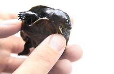 Meet our newest additions: four big-headed turtles have hatched in our Amazon River Forest exhibit!