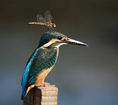 common kingfisher with dragonfly  photo by animallover