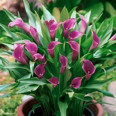 Calla 'Amethyst' will bloom for 10-11 weeks - full sun, well-drained soil.