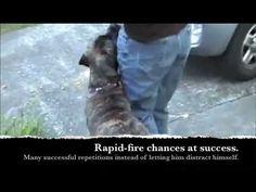 Simple leash walking - Silky Leash part 1 Ahimsa Dog Training Seattle clicker training - YouTube