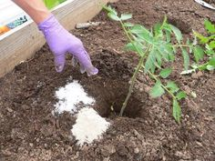 Uses Of Epsom Salt In Garden Plants. Epsom salt has several uses in organic gardening for healthy plants. Get Beautiful Roses. Epsom salt helps roses to. Growing Tomatoes Indoors, Grow Tomatoes, Garden Tomatoes, Epsom Salt Uses, Tomato Plants, Tomato Seedlings, Plantation, Permaculture, Gardening Tips