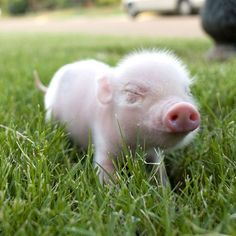 teacup pig  I MUST HAVE ONE!!